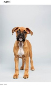 Boxer Fan Page is rooting for August in the Puppy Bowl!